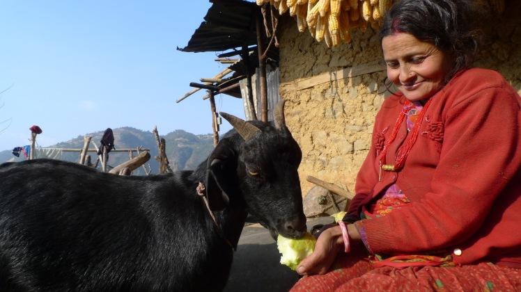 3. Sita Sapkota_goats